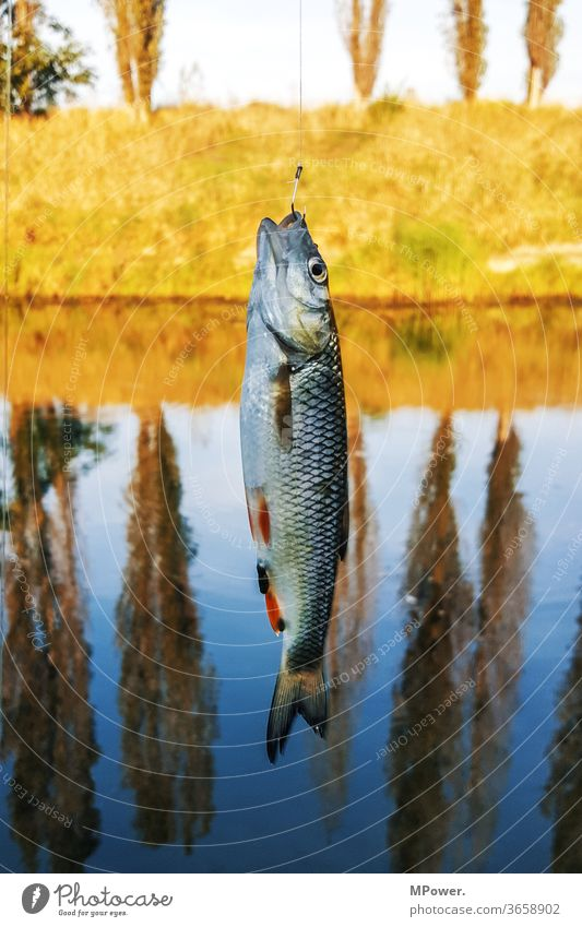fishing Fish Fishing (Angle) Lake Angler sprat Water Fishery Fisherman Nutrition Lakeside Food