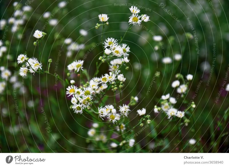 Crushed flowers | White meadow flowers with yellow pistils wild flowers Meadow summer meadow bleed Summer Plant Nature Flower meadow Exterior shot Colour photo