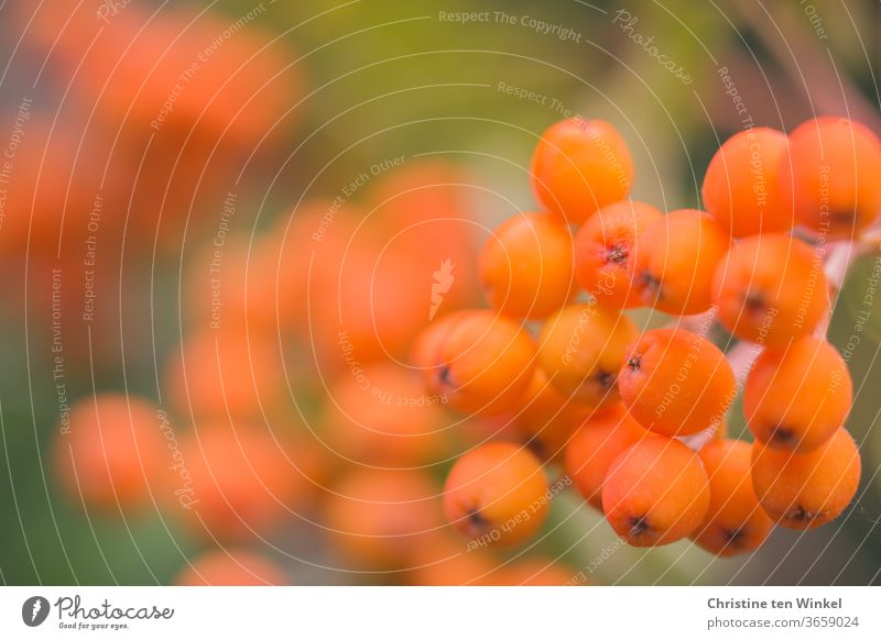 Orange berries of the mountain ash. Close up with shallow depth of field Rawanberry Berries Mountain ash Rowan tree Summer Nature Love of nature fruit Autumn