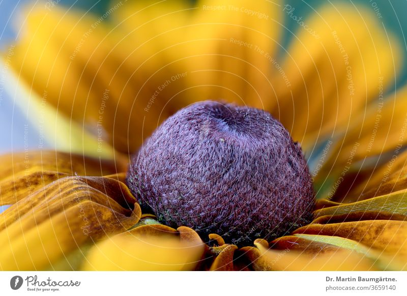 Rudbeckia hybrid, garden flower in the sunflower family North American Asteraceae Compositae coneflower black-eyed-susan