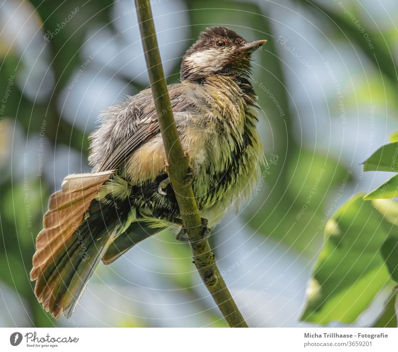 Young great tit stretches and stretches Tit mouse parus major Baby animal Chick Animal face youthful Small Beak Eyes Grand piano Feather young branch birds