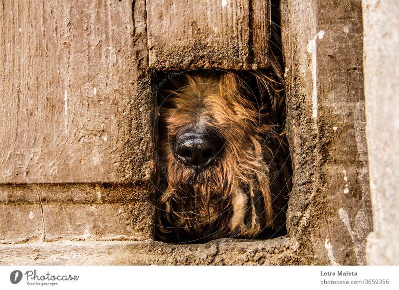 Hidden brown dog behind old door Dog Animal Exterior shot Animal portrait Watchdog brown door hidden dog