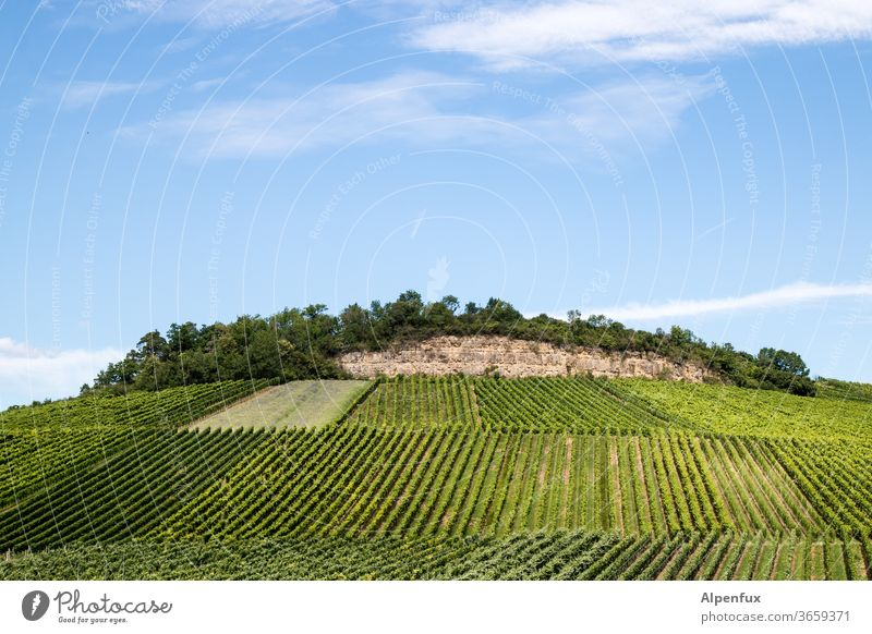 mountain of knowledge Vineyard Wine growing Exterior shot Summer Agricultural crop Bunch of grapes Deserted Grape harvest Winery Colour photo Day hillock green