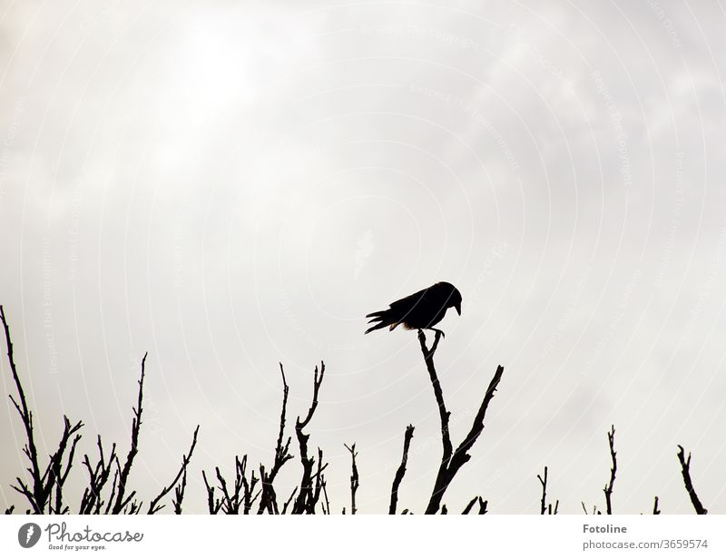 Silhouette - or a raven balancing on a dead undergrowth Crow birds feathers tail feathers Beak balance leafless Branch branches Twig twigs bushes Sky Gray Black