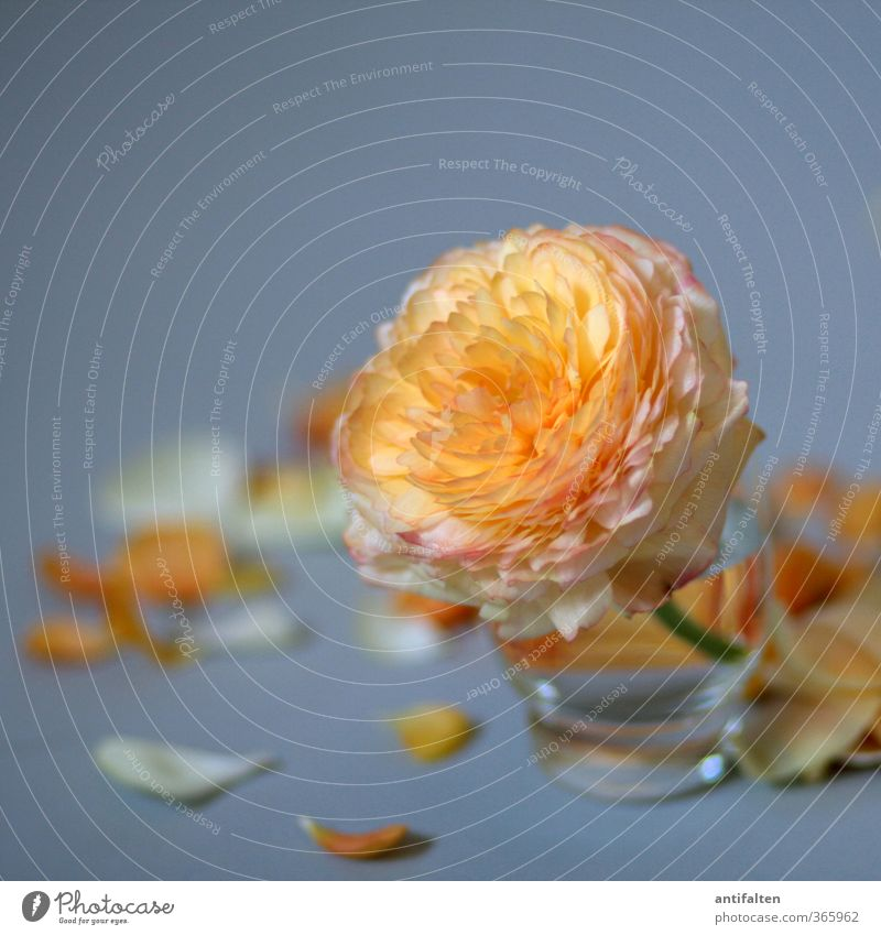 Plant Beautiful Summer Water Flower Leaf Blossom Love Gray Orange Decoration Glass Birthday Blossoming Transience