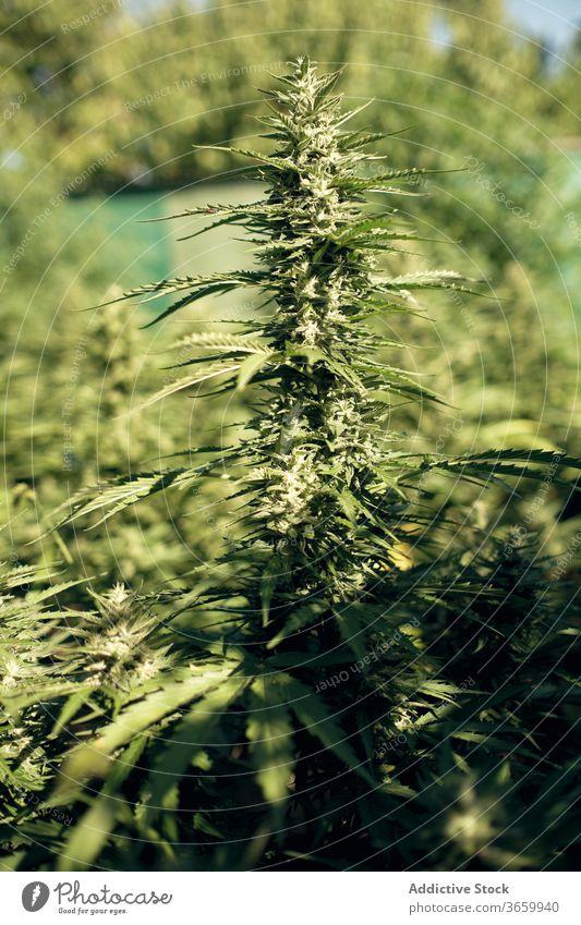 Wild cannabis growing in nature marijuana wild leaf plant green natural herb hemp bush grass fresh medicine macro botany growth weed summer flora beautiful