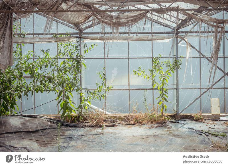 Weathered interior of abandoned greenhouse hothouse glass glasshouse building shabby growth weathered botany dried flora old grunge natural plant wall organic