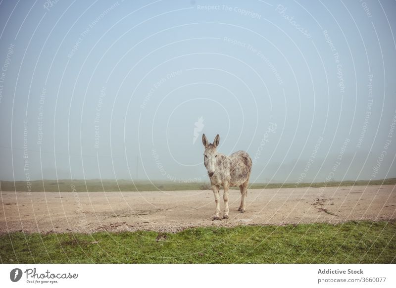 donkey standing on road and grazing in field graze pasture meadow domestic countryside nature fog morning animal rural environment farm idyllic tranquil season