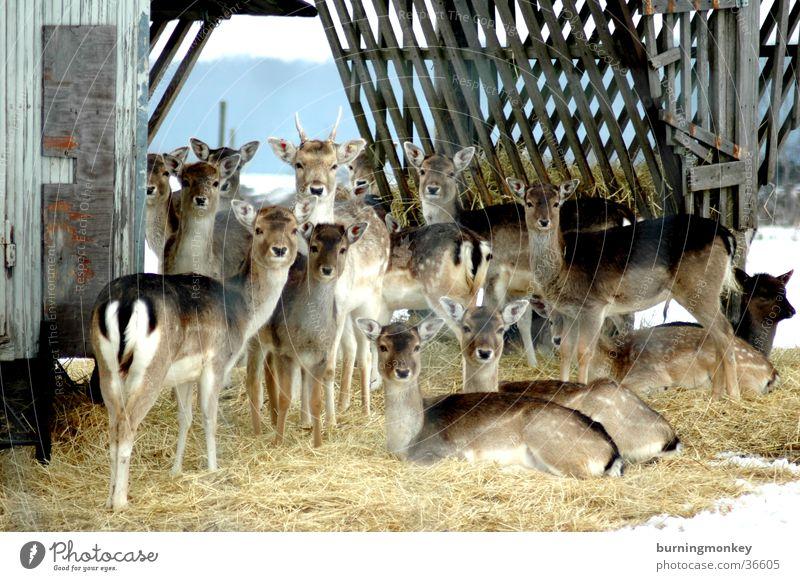 Bambi Roe deer Enclosure Straw Transport Multiple