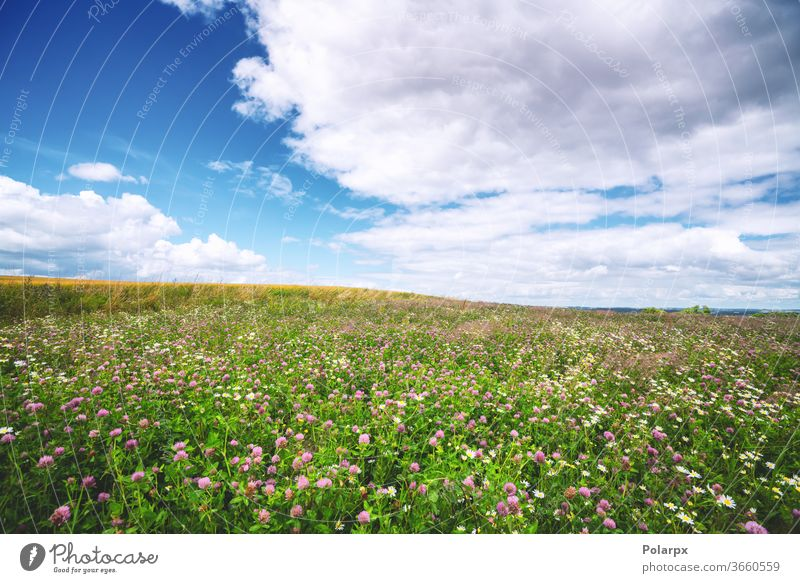 Clover field with wildflowers in the summer foliage tranquil growth scene freshness scenic color blue nobody purple bloom day background pink outdoors land