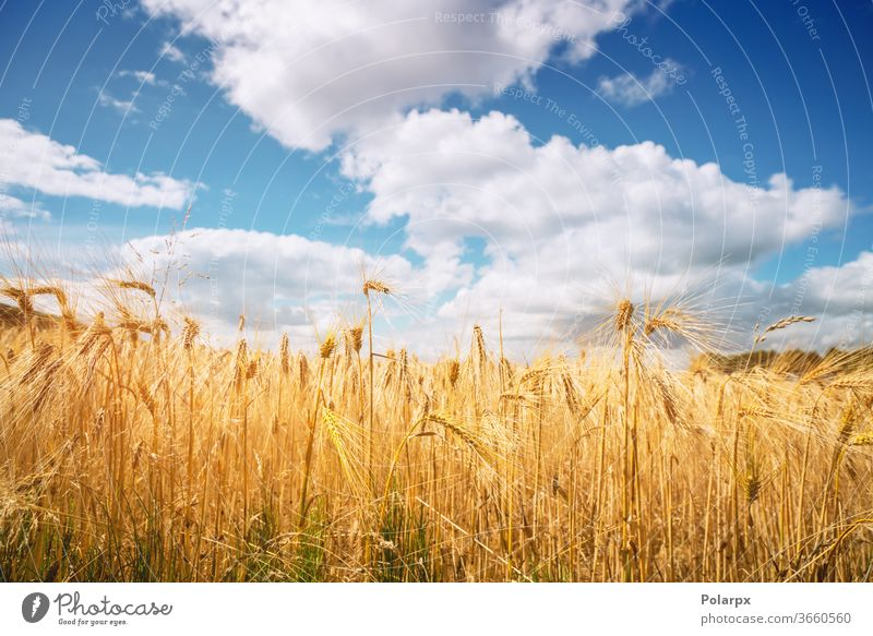 Golden wheat grain on a rural field scenery cultivate agricultural country natural dry closeup beautiful autumn corn sunset farming blue farmland sunlight sunny