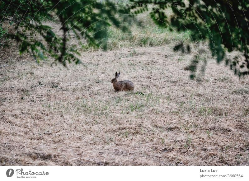 A lonely hare on the verge of flight, between green and drought in soft evening light rabbit ears long ears on the double Animal Exterior shot
