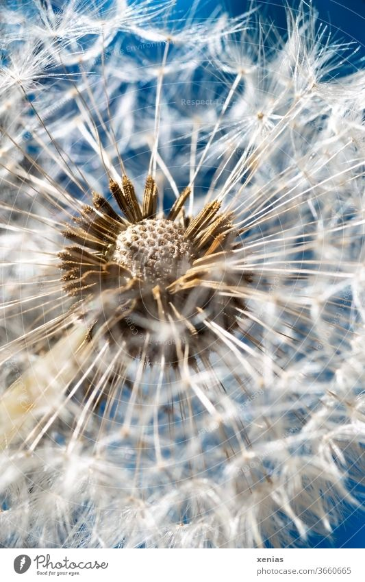 Macro shot of a dandelion against a blue background lowen tooth bleed Summer spring Garden Macro (Extreme close-up) Round White Blue Ease dandelion seed Sky