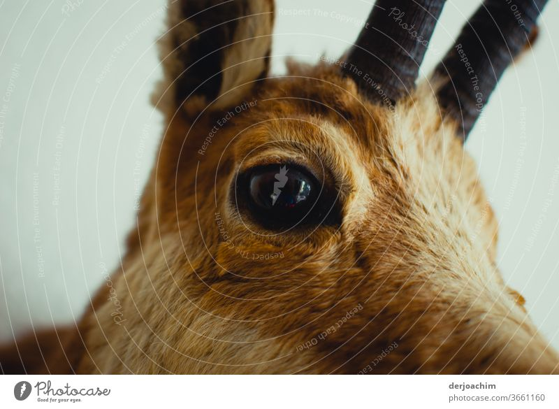 The deer. An eye for an eye, An eye looks at the observer. With ear raised and a small part of the antlers . A close-up. Stage Nature Living thing Colour photo