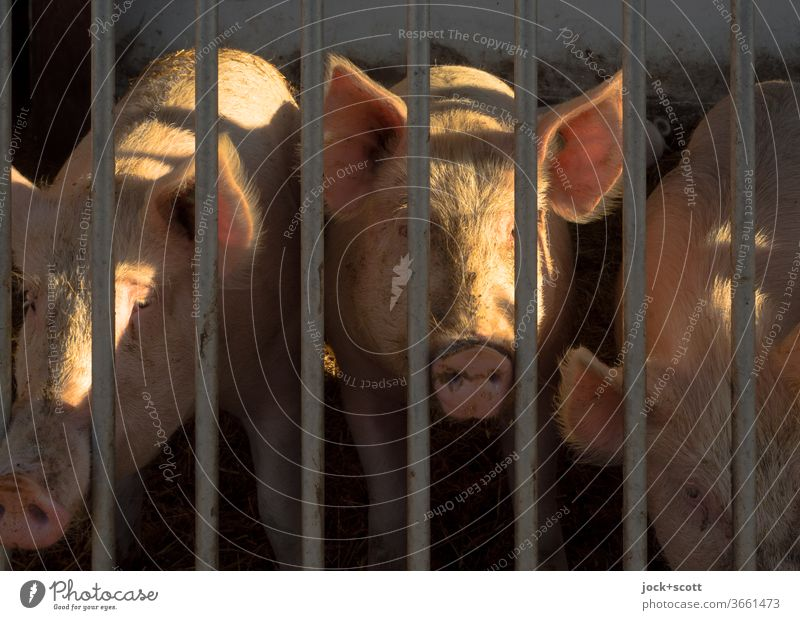 don't close your eyes to this mess. Pigs Animal portrait Farm animal Agriculture Pink Grating Barn Curiosity Flare 3 pig breeding Group of animals Captured