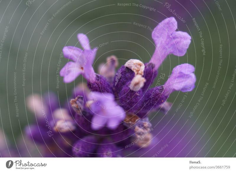 Real Lavender flowers plants purple Violet lavender fields labiates Lavendula angustifolia Ornamental plant Fragrance medicinal plant Nectar Kingdom
