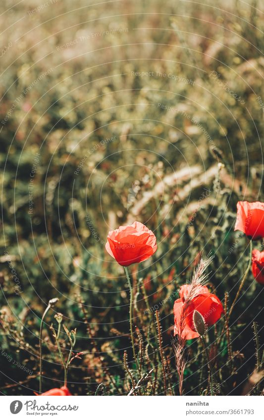 Red poppies in a field in summer poppy flower floral background backligth spring sun sunny warm beatiful natural nature blossoming bloom in bloom red green