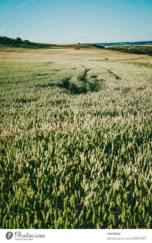 field of green wheat plant detail crops cereal farm bio organic gold golden hour sunset close up macro food organic food vegan vegetarian raw wide outdoors