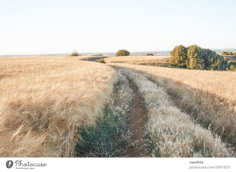 Golden fields of cereal in Spain summer path landscape crops farm quiet place silence sunset golden beautiful nature natural outdoors wild wide background wheat