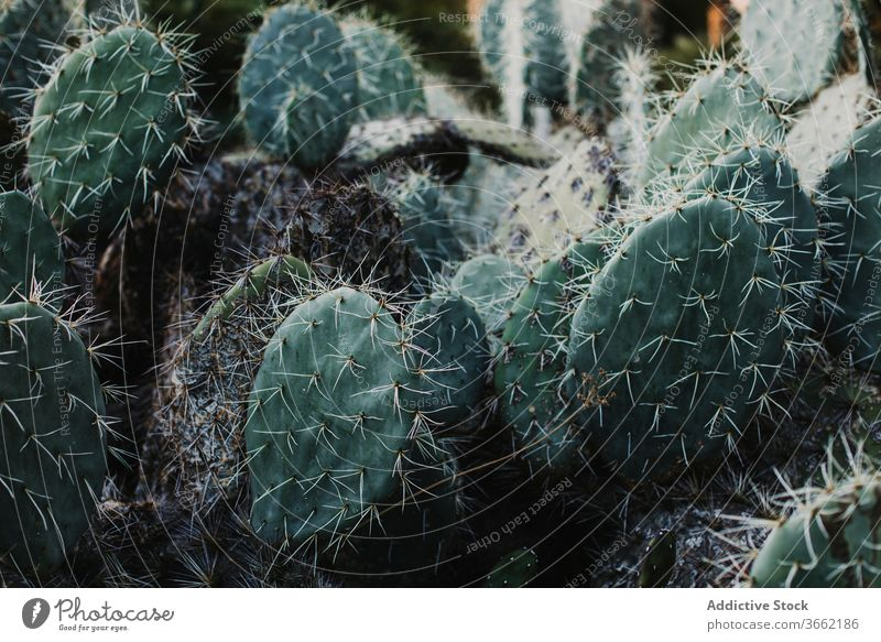 Exotic Opuntia plant with blooming flowers cactus opuntia prickle blossom botany flora growth delicate greenhouse garden fresh nature vegetate natural organic