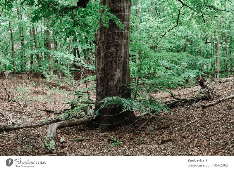 stem of a large beech tree in the forest on deciduous ground beeches trunk Forest foliage Deciduous soil forest soils green twigs branches Nature Relaxation