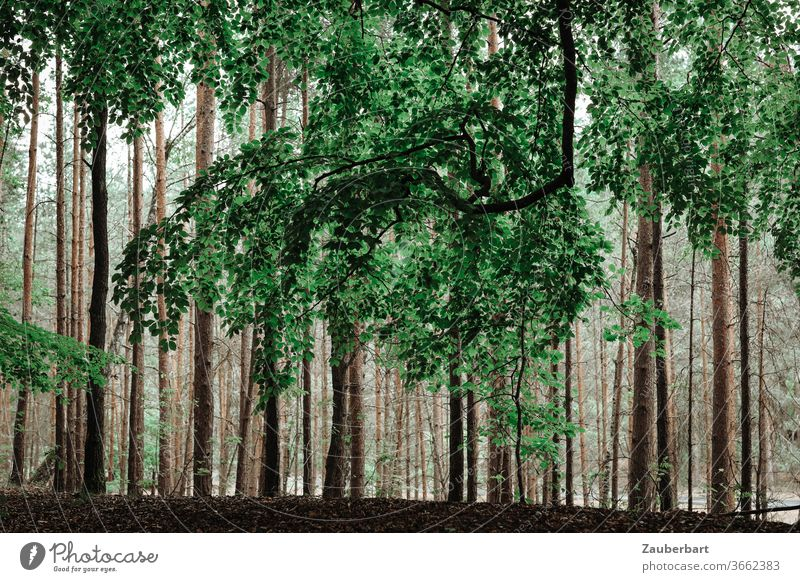 Big branch of a beech in front of trunks of pines in the forest beeches Branch tree tribes Jawbone Forest green Baun Sublime Nature tranquillity Relaxation