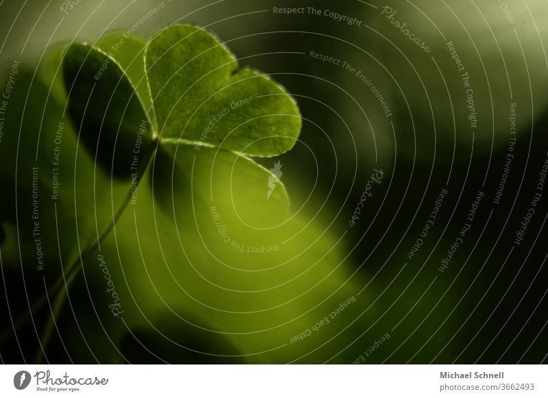 Macro photograph of a cloverleaf plant Cloverleaf luck green Plant Colour photo Nature Good luck charm Detail Shallow depth of field Macro (Extreme close-up)