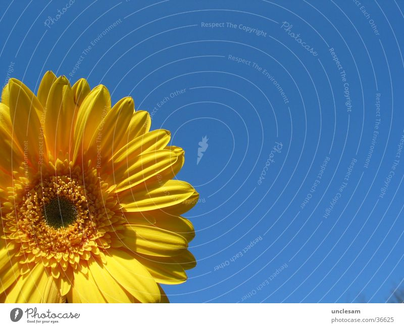 Yellow Flower Summer Sky Blue Gerbera Detail Cloudless sky Round Blossom leave Copy Space right Copy Space top Copy Space bottom Copy Space middle
