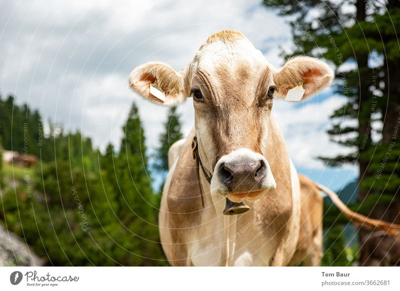 Portrait of a brown cow in the mountains with a cow bell around her neck in the background are conifers the blue sky with white clouds portrait chill