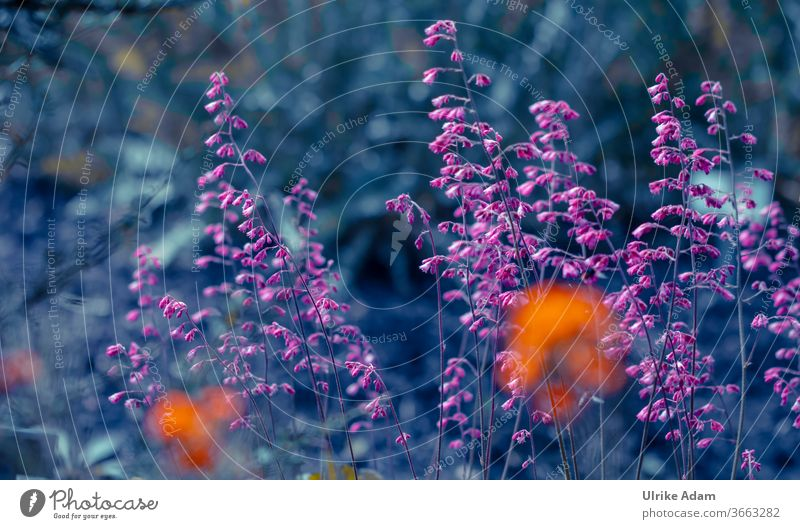 Delicate pink flowers of the purple bell (Heuchera) Purple bells haychera blooms Flower Blossoming Plant Nature Summer Garden naturally Colour photo pretty