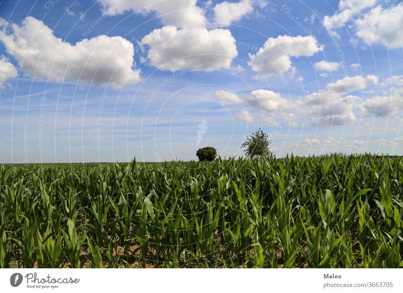 Green cornfield against a blue sky with white clouds agriculture green landscape nature farming summer countryside farmland rural season crop food harvest sunny