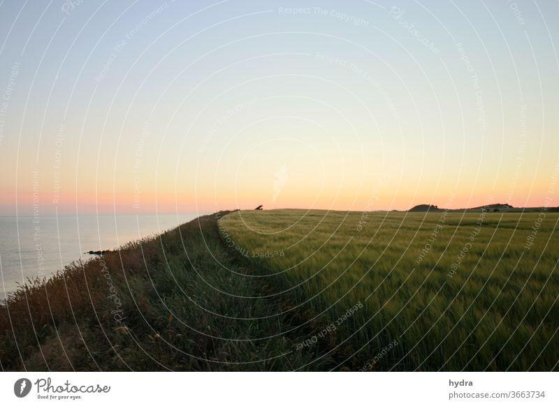 Evening mood after sunset in the cornfield by the sea Dusk evening mood Ocean Sky Blue sky blue hour Cornfield Grain field Field Margin of a field hillock