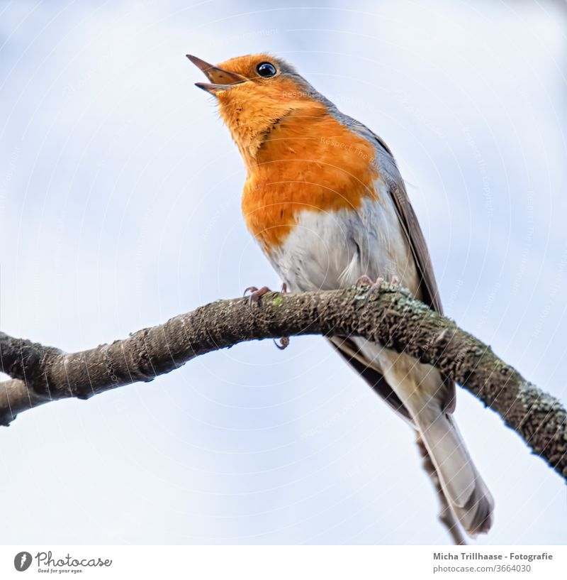 Singing robin Robin redbreast Erithacus rubecula Animal face Head Beak Eyes Feather Plumed Grand piano Claw birds Wild animal Branch tree Beautiful weather