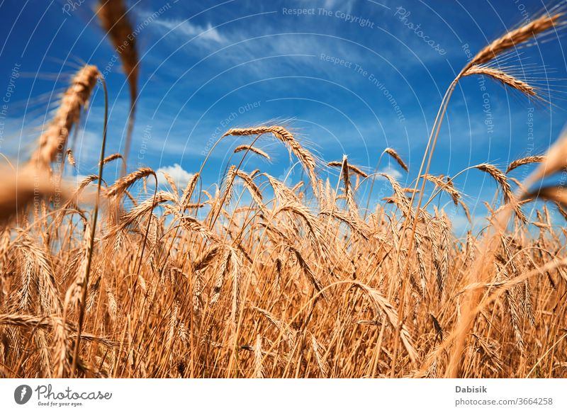 Rye ears close up. Rye field in a summer day. Harvest concept rye harvest grain wheat golden crop farm yellow cereal ripe agriculture barley landscape seed