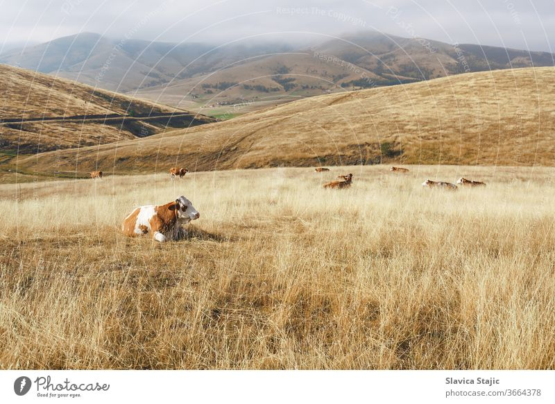 Scenic view of a rural  foggy mountain landscape with a cows . Nature and countryside concept agriculture animal autumn beautiful blue crop day destination dry
