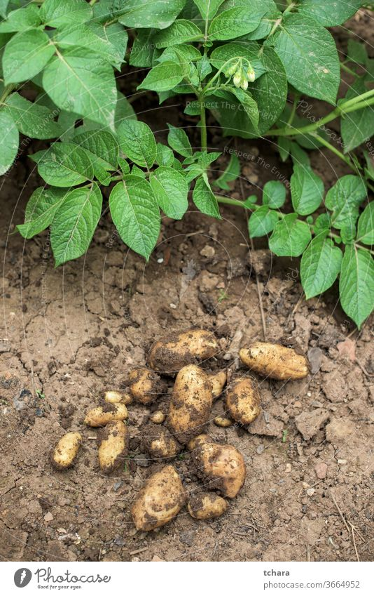 Fresh potatoes out of soil cultivation farm environment amount ingredients freshness earth young ripening growing dig heap produce veggies farmland farmer