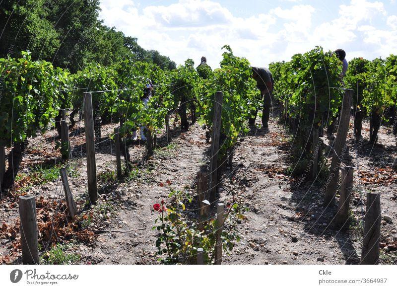 Worker in the vineyard of a Grand Cru Château, Pauillac, Bordelais Vineyard work green harvest Harvest vines Grape harvest grand cru Grand Cru Class Burgundy