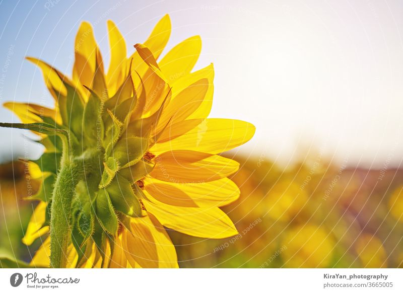 Sunflower. Field of sunflowers against summer meadow yellow field landscape nature sky green closeup bright growth round crop circle sunset clear blue beautiful