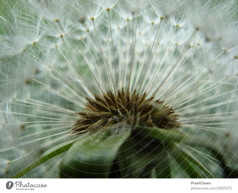 Blowball in a close-up dandelion Macro (Extreme close-up) lowen tooth Plant Sámen Flora, summer, harmony