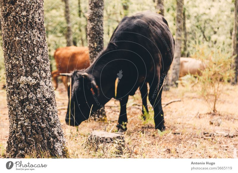 Herd of brown and black cows grazing in the forest. herd ranch livestock mammal cattle farmland pasture calf farming milk breed domestic industry rural friends