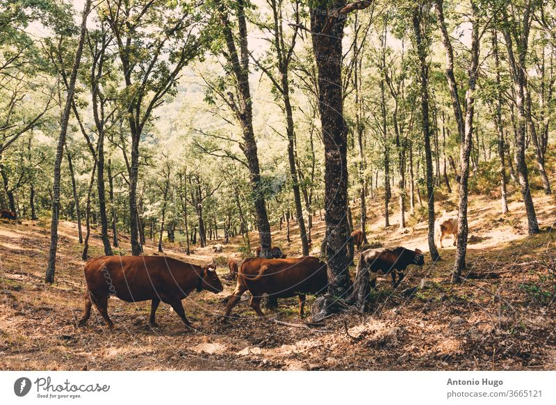 Herd of brown cows grazing in the forest. herd ranch livestock mammal cattle farmland pasture calf farming milk breed domestic industry rural friends group hide