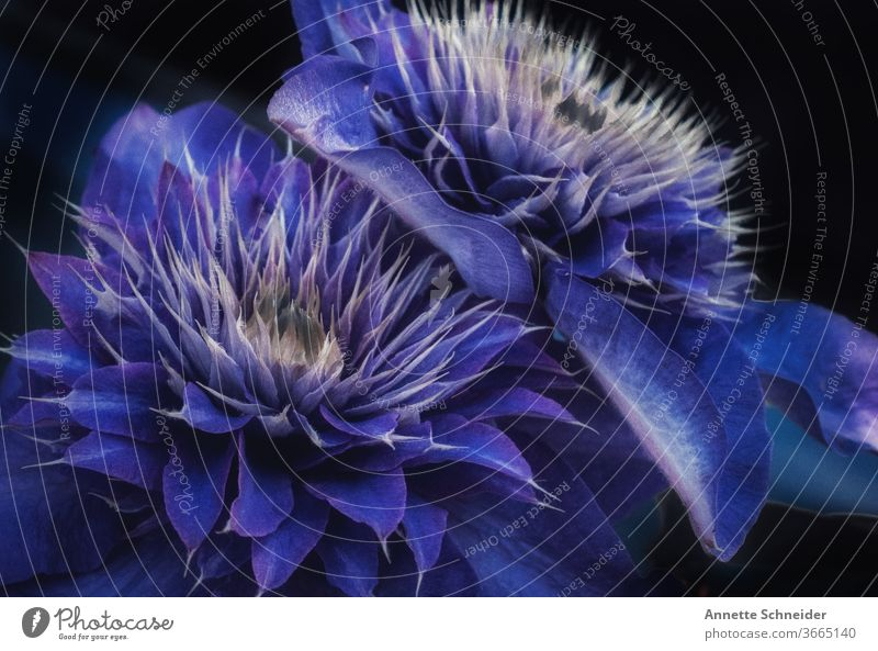 Blue Clematis Plant Nature Macro (Extreme close-up) flowers spring Detail Colour photo creeper Garden bleed Blossoming