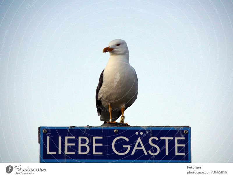 """Where's the photoline? She always comes here! - or a seagull sits on a sign saying """"Dear guests"""" and waits. Seagull Gull birds Animal Exterior shot Colour photo"""