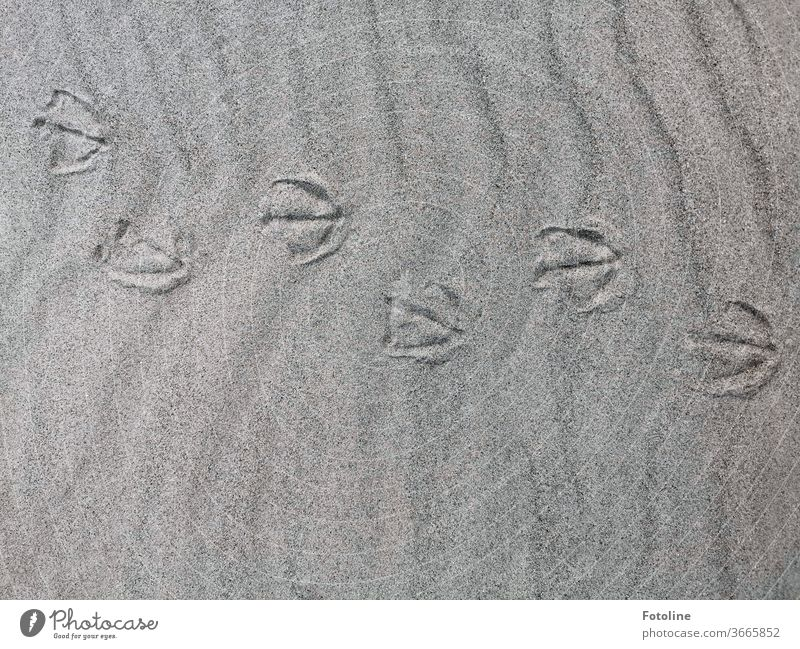Tip, tap, tip, tap, tap - or footprints of a gull, duck or goose. It's all walking on the dune of Helgoland. Tracks footsteps Seagull Duck Goose