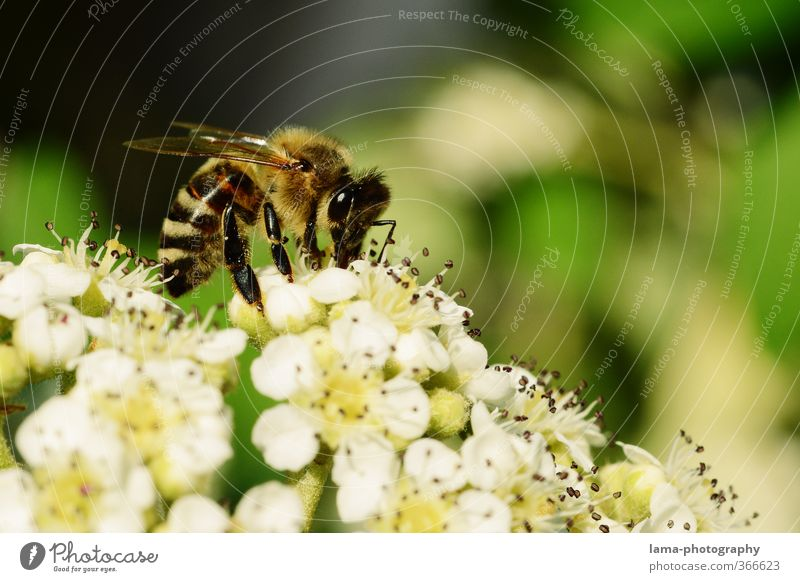 busy bee Nature Sunlight Spring Summer Flower Blossom Animal Wild animal Bee Honey bee Wasps Beehive 1 Eating Foraging Nectar Flowering plants Pistil Pollen