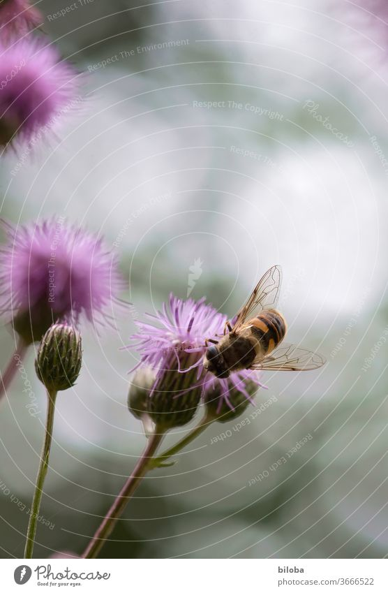 Bee on blossom drinking nectar in soft backlight. bleed flowers Nectar Honey flower honey Grand piano Insect Farm animal wild honey Bee-keeping Nature