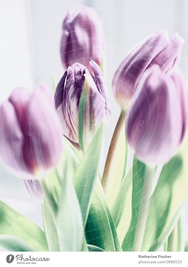 purple tulips Tulip flowers Tulip blossom Nature Colour photo spring Dreamily Decoration Bouquet Day already Summer Interior shot Blossoming green Bud White