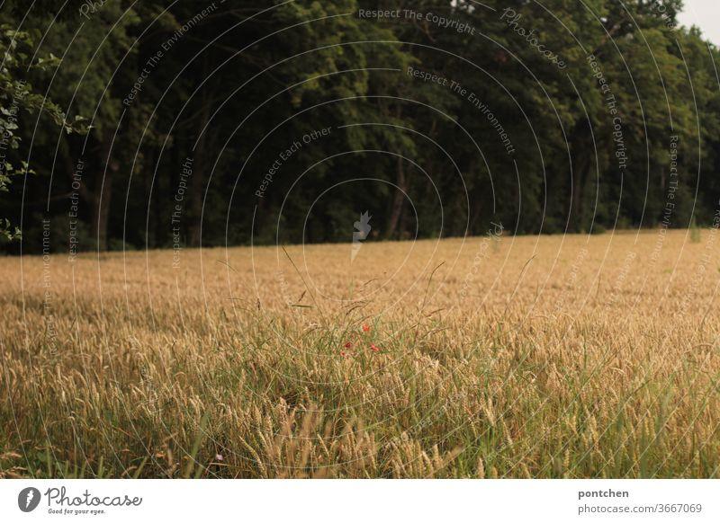 A cornfield outside a forest. Agriculture, food Field Wheat Grain Ear of corn poppies rural Summer Wheatfield Cornfield Agricultural crop Growth Nutrition
