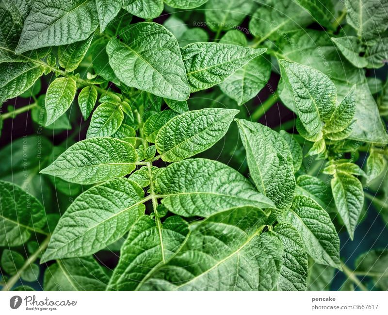 marabel, the all-rounder potato Plant Food Vegetable Fresh green plants wax Bulb Nutrition self-catering Garden Healthy Eating Agricultural crop Organic produce