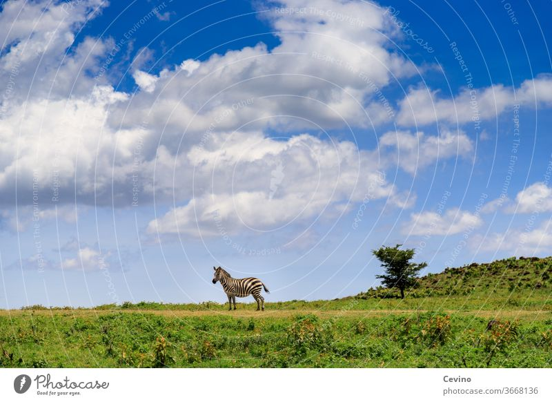 Zebra on a meadow in good weather Meadow Blue sky Clouds Clouds in the sky Animal by oneself Lonely Doomed Complementary colour Contrast depth effect Africa